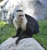 White-throated Capuchin